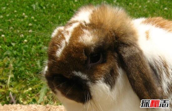 荷兰垂耳兔