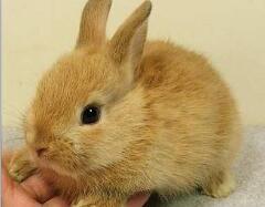 兔中美人儿公主兔,最受女性欢迎的宠物兔(超萌图片)
