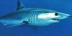 世界上速度最快的鲨鱼,灰鲭鲨(嗜血吃人比船还快)