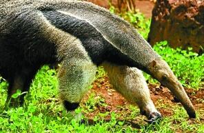 世界上最大的食蚁兽,大食蚁兽长2.4米的蚂蚁猎手(会杀人)