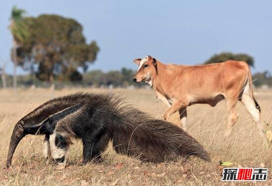 世界上最大的食蟻獸,大食蟻獸長2.4米的螞蟻獵手(會殺人)